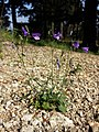 Campanula rotundifolia sl17.jpg