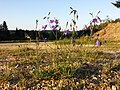 Campanula rotundifolia sl19.jpg