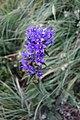 Campanula sp. Campanulaceae 05.jpg