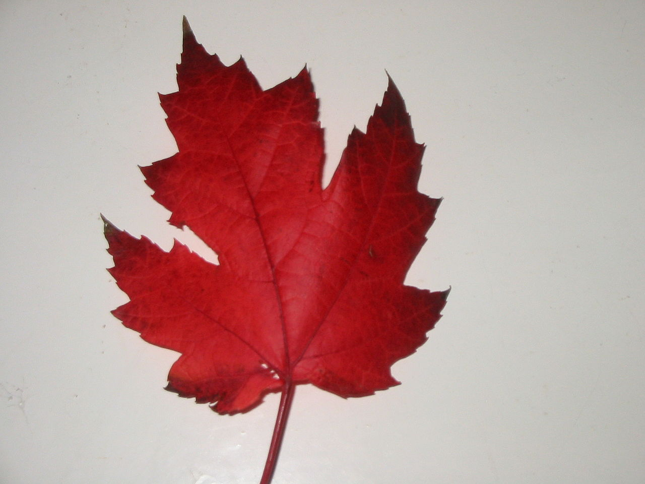 Untitled — Canadian Maple Leaf To Color