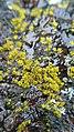 Candelariella vitellina 64138434.jpg