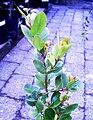 Candlewood tree - Pterocelastrus tricuspidatus - Cape town.JPG