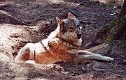 Canis lupus1