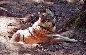 Wulew (Canis lupus)