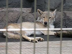 Loup de Mongolie