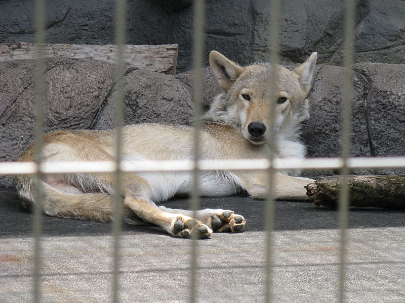 http://upload.wikimedia.org/wikipedia/commons/thumb/7/7d/Canis_lupus_chanco1.jpg/800px-Canis_lupus_chanco1.jpg