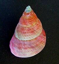 Cantharidus opalus opalus
