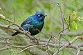 Cape Glossy Starling (Lamprotornis nitens) (16268686840).jpg