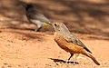 Cape Rock Thrush, Monticola rupestris at Suikerbosrand Nature Reserve, Gauteng, South Africa -- FEMALE (15514992901).jpg