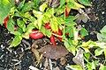 Capsicum annuum Haitian 1zz.jpg
