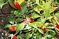 Capsicum pubescens Serrano del Sol 1zz.jpg