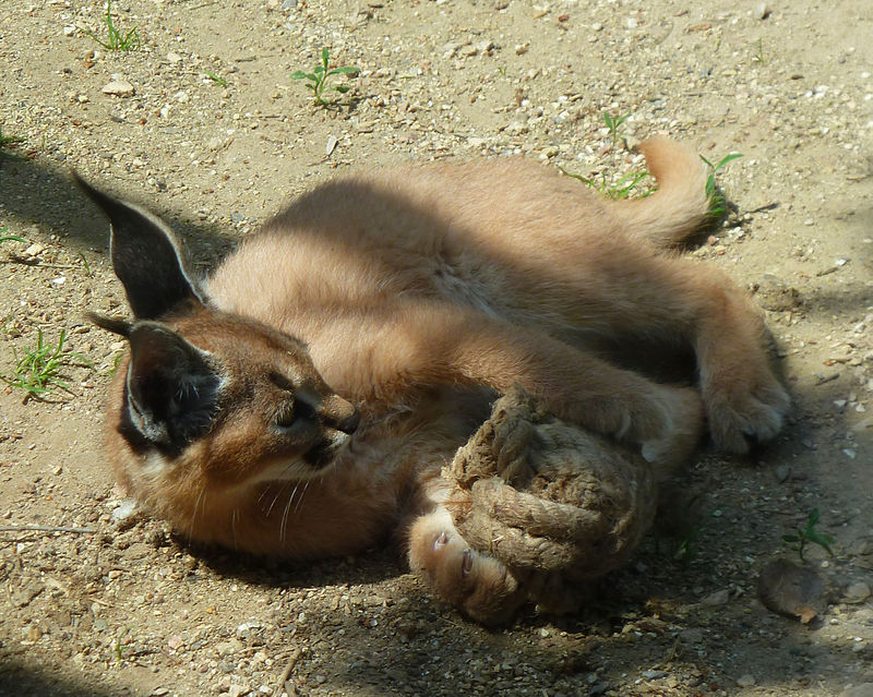 """Caracal kitten playing with rope toy"" by Clipartqueen - Own work. Licensed under CC0 via Wikimedia Commons - https://commons.wikimedia.org/wiki/File:Caracal_kitten_playing_with_rope_toy.jpg#/media/File:Caracal_kitten_playing_with_rope_toy.jpg"