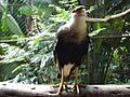 Caracara cheriway -captivity -Guatemala-8.jpg