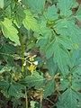 Cardiospermum halicacabum 16.JPG