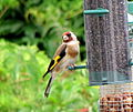 Carduelis carduelis -United Kingdom -garden bird feeder-8.jpg