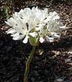 Cardwell Lily flower.JPG