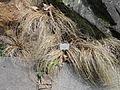 Carex comans - Palmengarten Frankfurt - DSC01978.JPG
