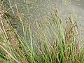 Carex elata plant (04).jpg