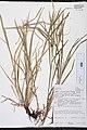 Carex intumescens greater bladder sedge Sevastopol Door County Wisconsin.jpg