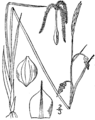 Carex limosa illustration.png
