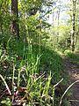 Carex pilosa sl13.jpg