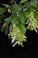 Carpinus betulus (8348610223).jpg