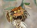 Carpocoris purpureipennis.jpg