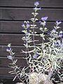 Caryopteris Kew Blue.jpg