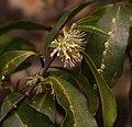 Cassipourea malosana at Digby's Falls, Chimanimani, Zimbabwe 3.jpg