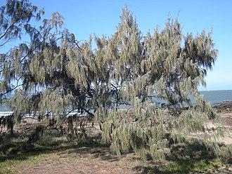 Ironwood - Image: Casuarina equesitifolia tree