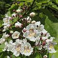 Catalpa bignonioides-IMG 5809.jpg
