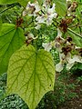 Catalpa speciosa 02 by Line1.jpg