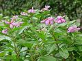 Catharanthus roseus - Kolkata 2004-07-13 01757.JPG