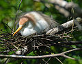 Cattle egret on nest by Bonnie Gruenberg.jpg