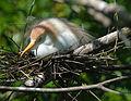 Cattle egret on nest by Bonnie Gruenberg.jpg