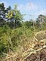 Caucalis platycarpos subsp. platycarpos sl31.jpg