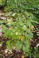 Caulophyllum thalictroides kz3.jpg