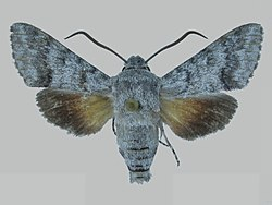 Cautethia exuma BMNHE273056 male up.jpg