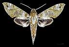 Cechenena helops papuana MHNT CUT 2010 0 22 Wau New Guinea male dorsal.jpg