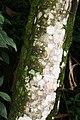 Cecropia obtusifolia 39zz.jpg