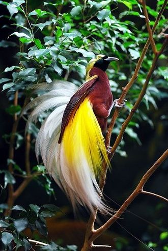 Fauna of New Guinea - GOLDEN PLUMED GREATER BIRD OF PARADISE