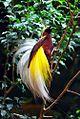 Cenderawasih Bird - Papua.jpg