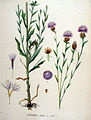 Centaurea jacea — Flora Batava — Volume v19.jpg