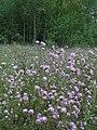Centaurea pseudomaculosa 98979353.jpg