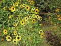 Central Park Sunflowers.JPG