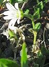 Cerastium arcticum upernavik 2007-06-26 1