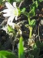 Cerastium arcticum upernavik 2007-06-26 1.JPG