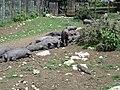 Cerdos-Benaocaz-MINdsc04878.jpg