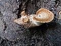 Cerioporus squamosus 1.jpg