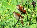 Certhiaxis cinnamomea (Rastrojero barbiamarillo) (14053459138).jpg